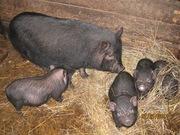 Поросята,  свинки,  хрячки вьетнамской вислобрюхой травоядной породы