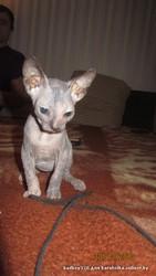 Котят породы Донской Сфинкс