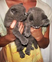Британцы. Плюшевые Котята.