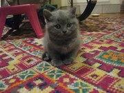 Британские котята (мальчик)