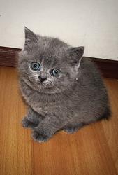 Британские котята. Плюшевые котята.