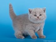 Британские короткошерсные котята