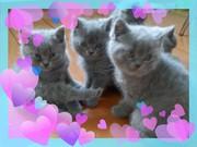 Британские котята голубого окраса мальчики и девочки