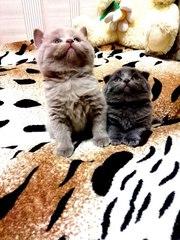 Шотландский-вислоухий и британские котята