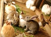 Продам кроликов живым весом или тушки кроликов