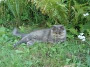 персидская кошка 12 месяцев