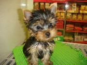 Adorable Cute Teacup Yorkie Puppies For Adoption contact via (sherlbyc