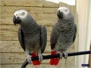 Головна Піднята Говорячи африканський сірий папуга